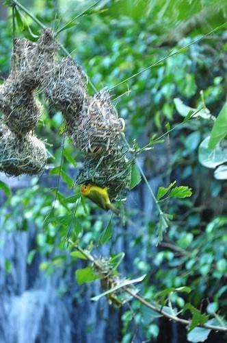 WildAfricaTrek  upside down bird nests