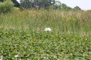 ecosystem, airboat, boggy creek