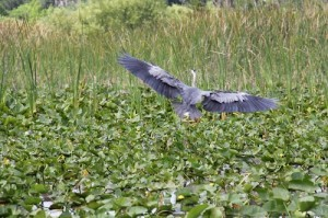 blue heron, boggy creek, airboat rides, kissimmee