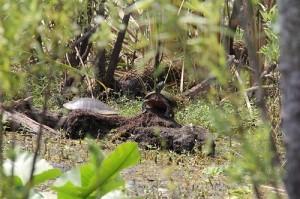 turtles, marsh,
