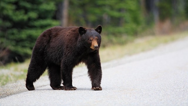 bear-on-road