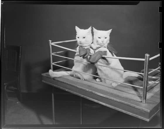 boxing-cats