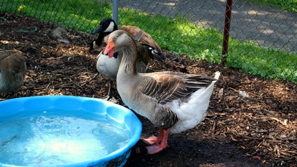 funky duck