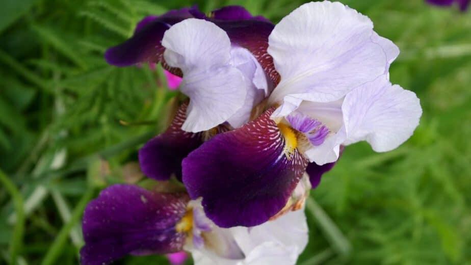 samsung-iris