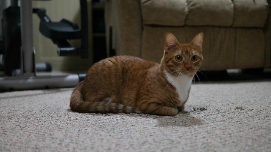 rosie-#freshstepcats