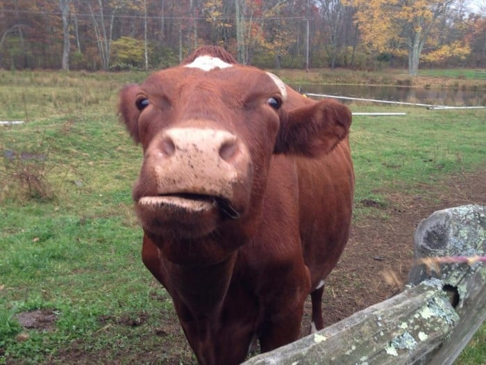 wet ones cow