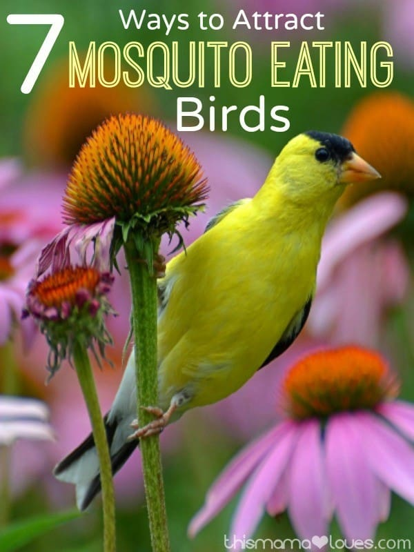 Attract mosquito eating birds to your yard or garden with these simple tips!