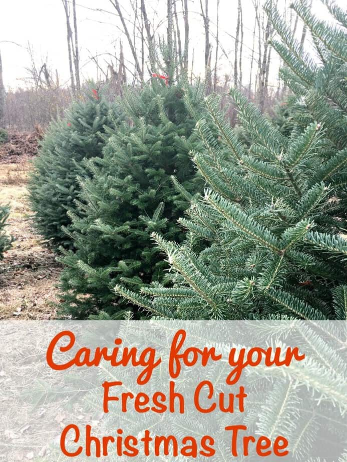 Tips for Keeping a Fresh Cut Christmas Tree | This Mama Loves