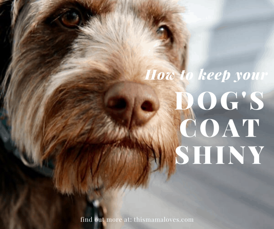 how to keep your dogs coat shiny