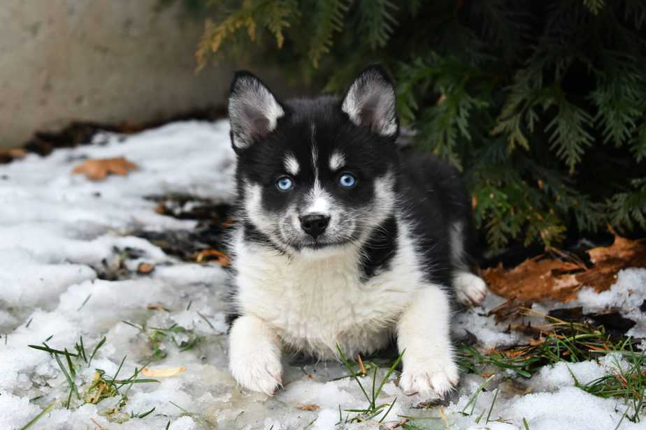 Everything You Need to Know About the Pomsky Dog