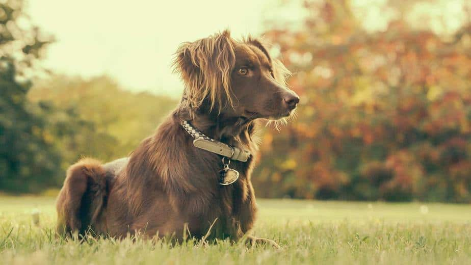 beautiful brown dog with long hair on ears laying on grass